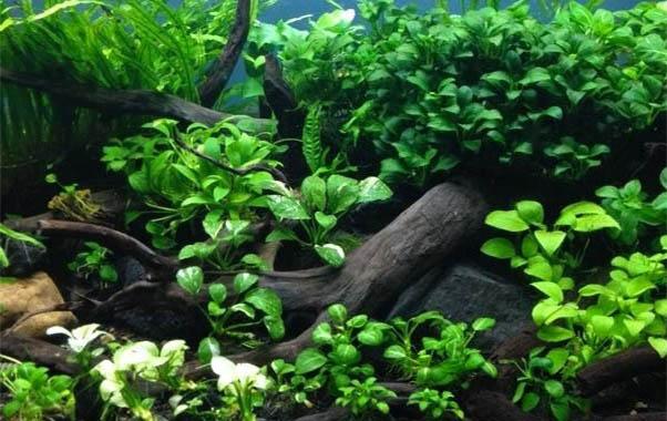 anubias plantas para nano acuarios