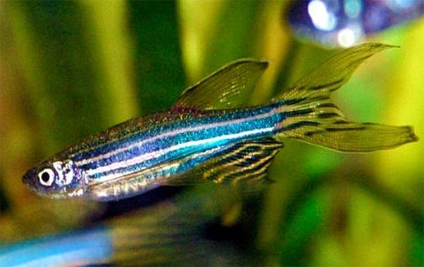 pez cebra para nano acuarios