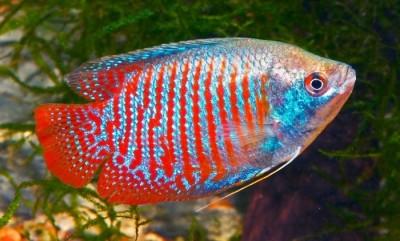 pez paraiso agua fria
