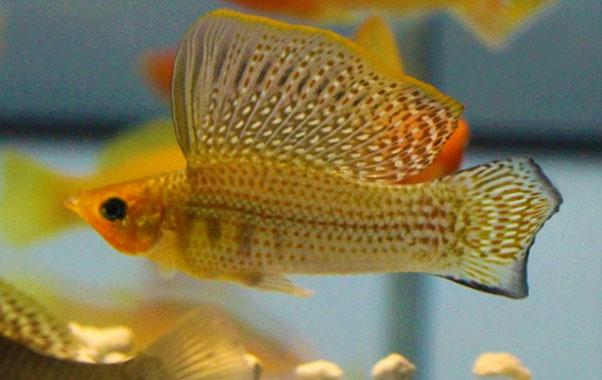 pez molly para nano acuario