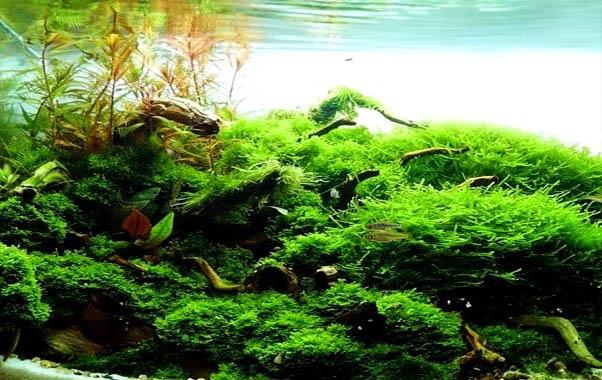 musgo de java plantas para nano acuarios