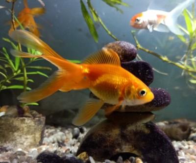pez agua fria goldfish