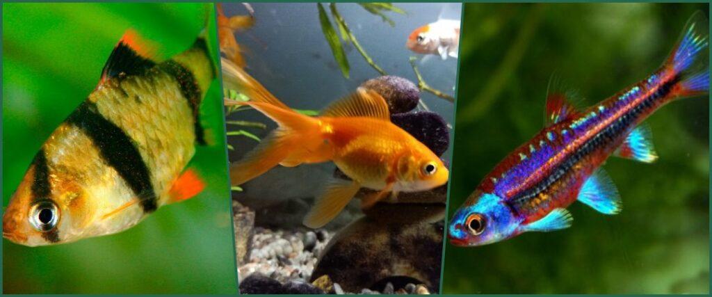 peces de agua dulce nano acuarios